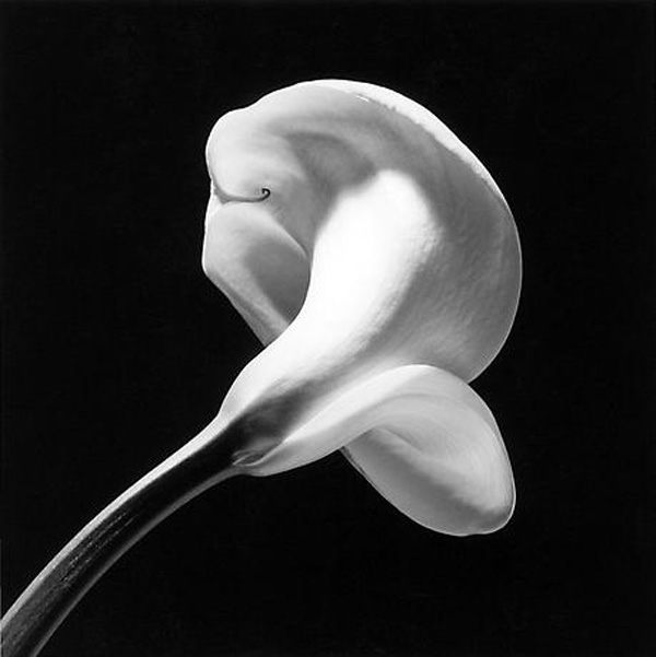 Calla Lilly Robert Mapplethorpe Composition Adam Marelli Photography Workshops